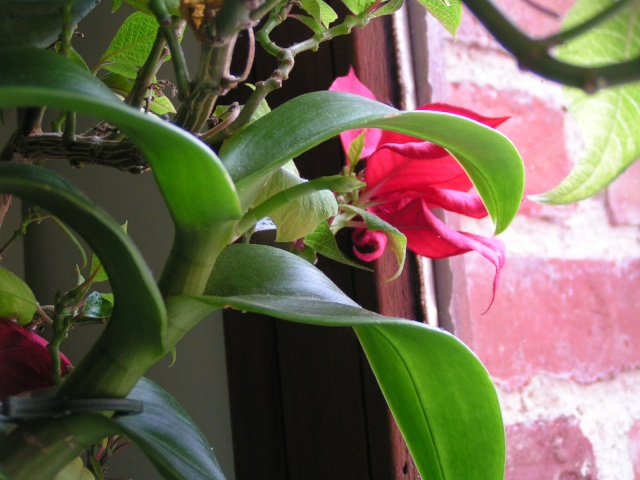 Nouvelle hampe florale : dendrobium Pict0314