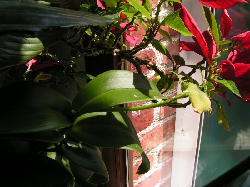 Nouvelle hampe florale : dendrobium Pict0315