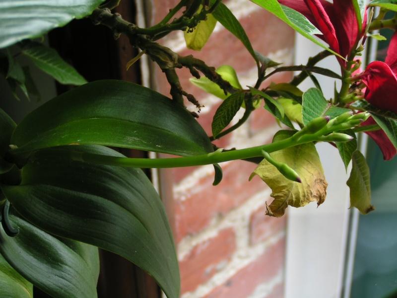 Nouvelle hampe florale : dendrobium Pict0316