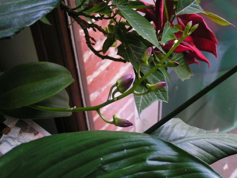 Nouvelle hampe florale : dendrobium Pict0410