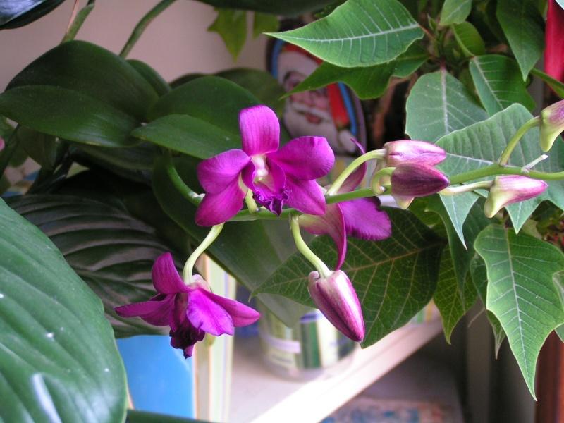 Nouvelle hampe florale : dendrobium Pict0413