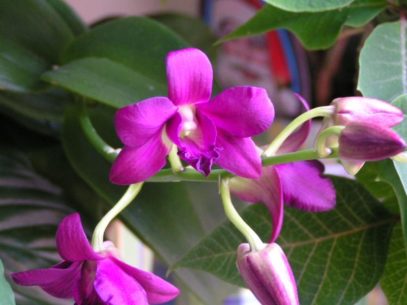 Nouvelle hampe florale : dendrobium Pict0414
