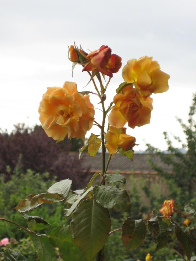Mi Rincón de Rosas - Página 2 Img_0721