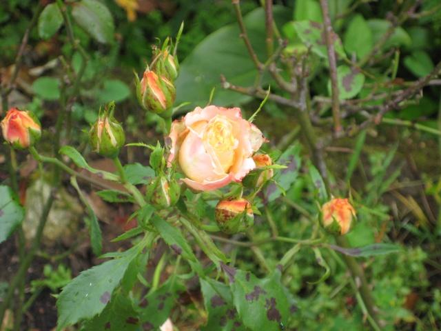 Mi Rincón de Rosas - Página 2 Img_0722