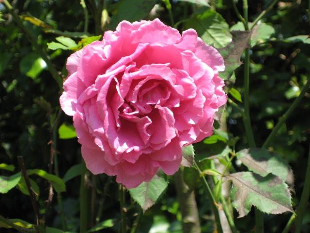 Mi Rincón de Rosas - Página 2 Img_0723