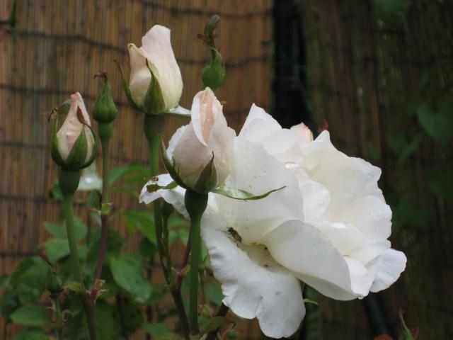 Mi Rincón de Rosas - Página 2 Img_0725