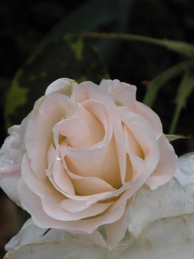 Julio en flor Prince12