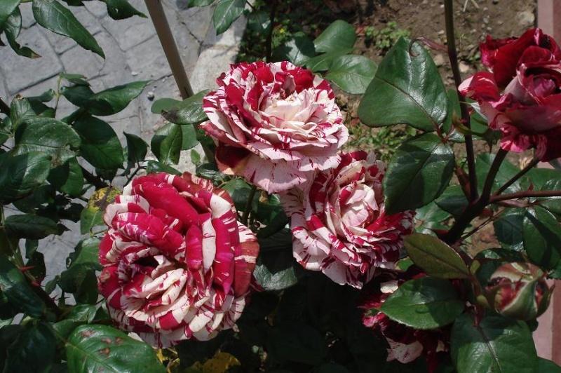 EL JARDIN DE EPI - Página 2 Rosas_10