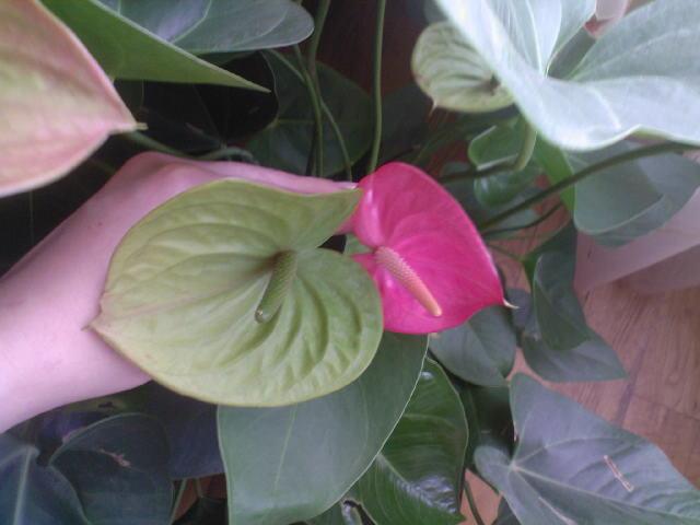 Антуриум-цветок в форме сердца 10721010