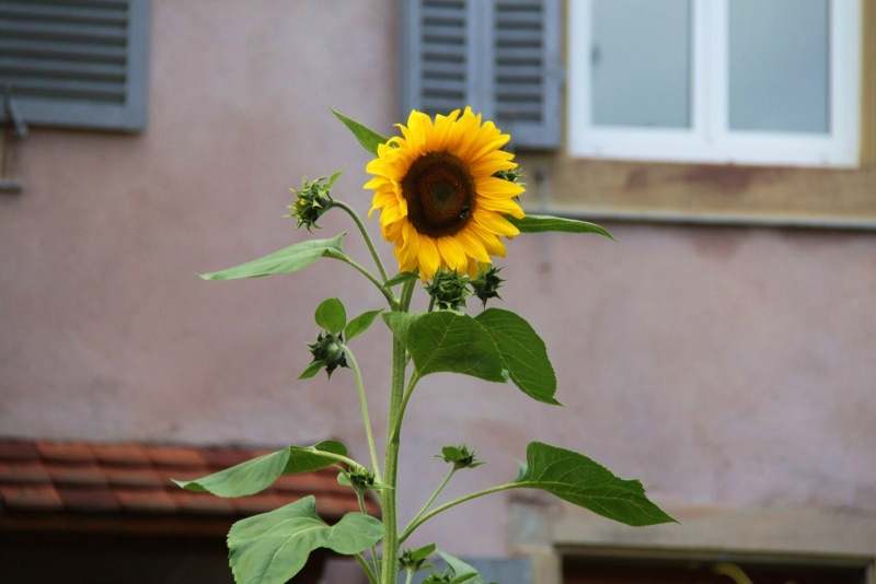 Fleurs de Wangen ,été 2012 ! Img_2130