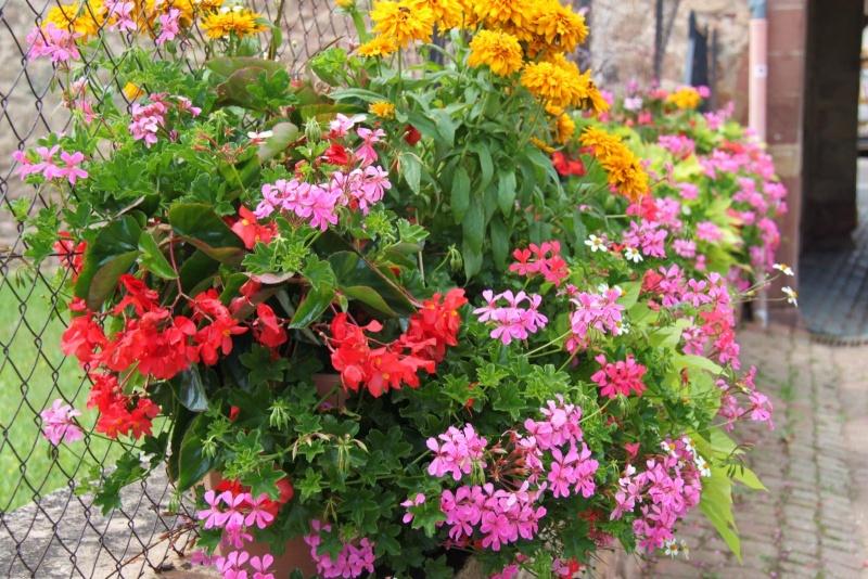 Fleurs de Wangen ,été 2012 ! Img_2132