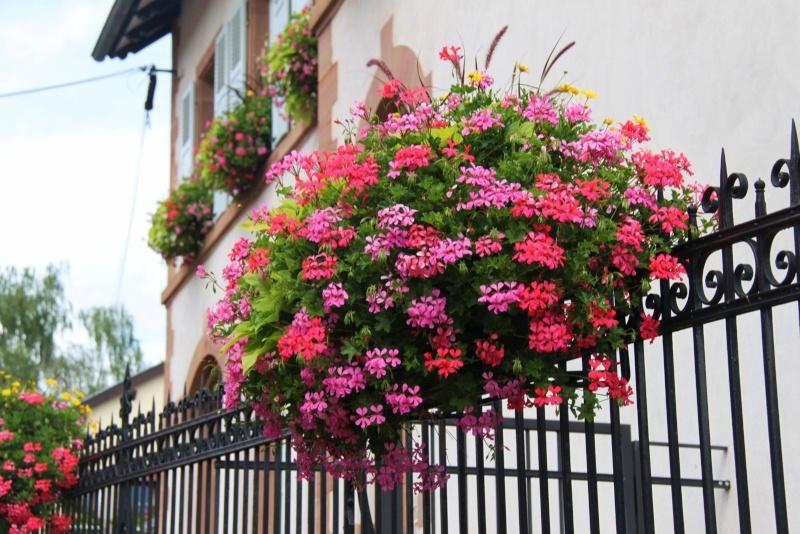 Fleurs de Wangen ,été 2012 ! Img_2141