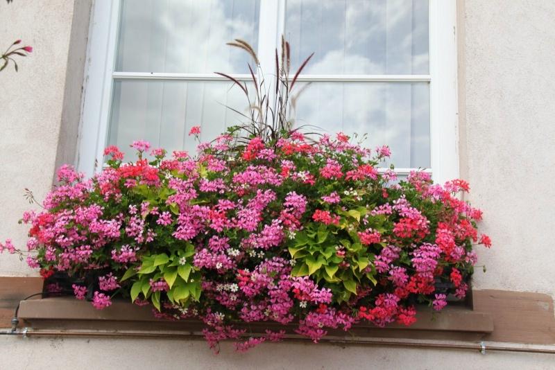 Fleurs de Wangen ,été 2012 ! Img_2142