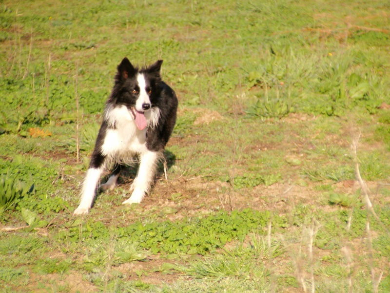 border collie LOF Photo_13