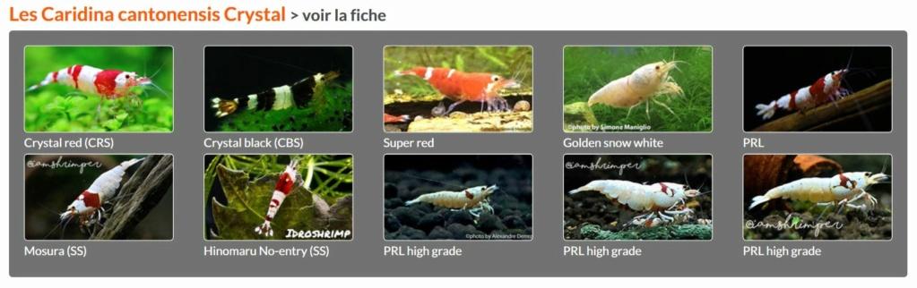 Les différentes crevettes d'aquarium - lien encyclofish Crysta11