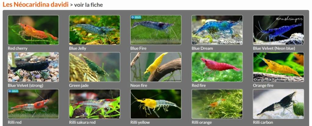 Les différentes crevettes d'aquarium - lien encyclofish Davidi15