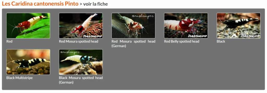Les différentes crevettes d'aquarium - lien encyclofish Pinto10