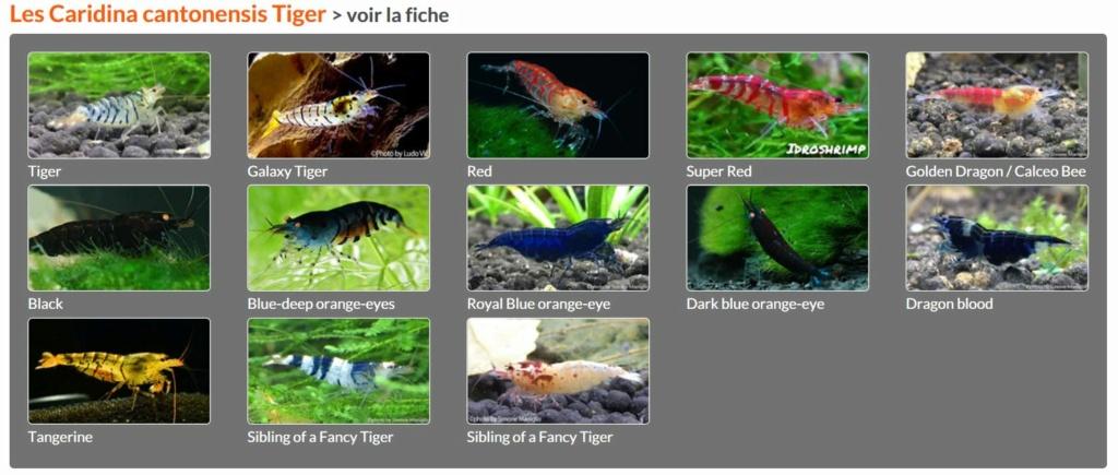 Les différentes crevettes d'aquarium - lien encyclofish Tiger10