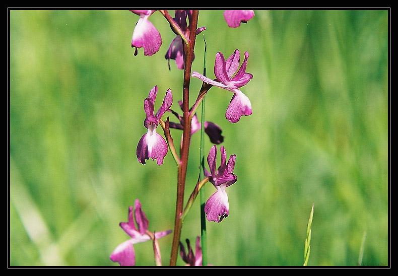 Anacamptis laxiflora ( Orchis à fleurs lâches ) 1010