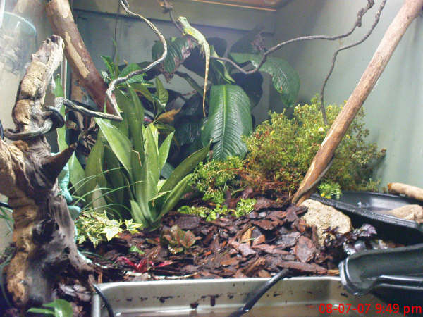 a couple pics of the water dragon and mantella setups P12
