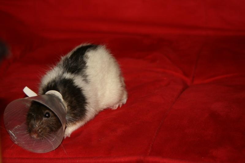 Le rat saucisson - Protéger une plaie après opération - Page 4 Img_0210