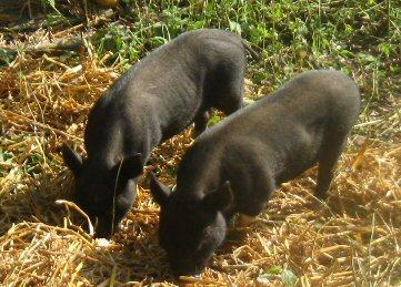 potbelly piglets Photos11