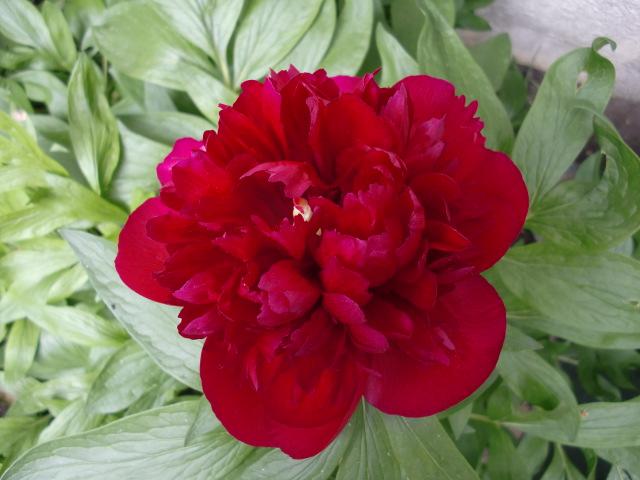 Je vous offre des fleurs.... Cimg1315