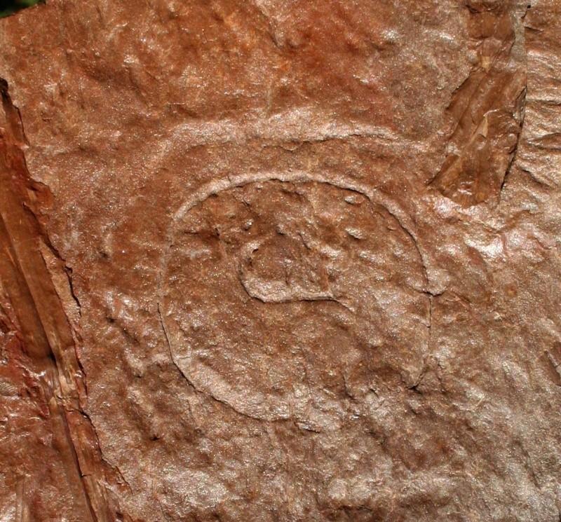 Megaphyton Artis , 1825 . 00412
