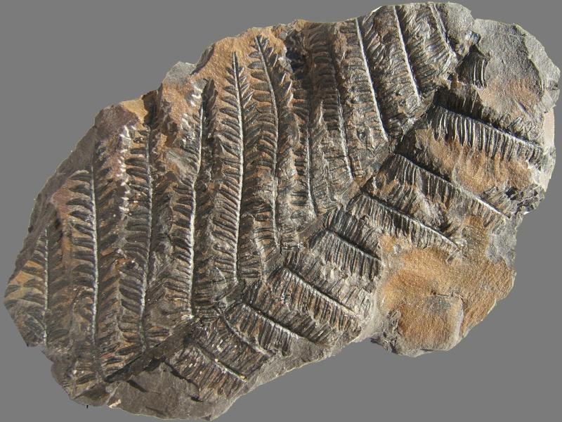 Alethopteris Sternberg 1825. 017a10