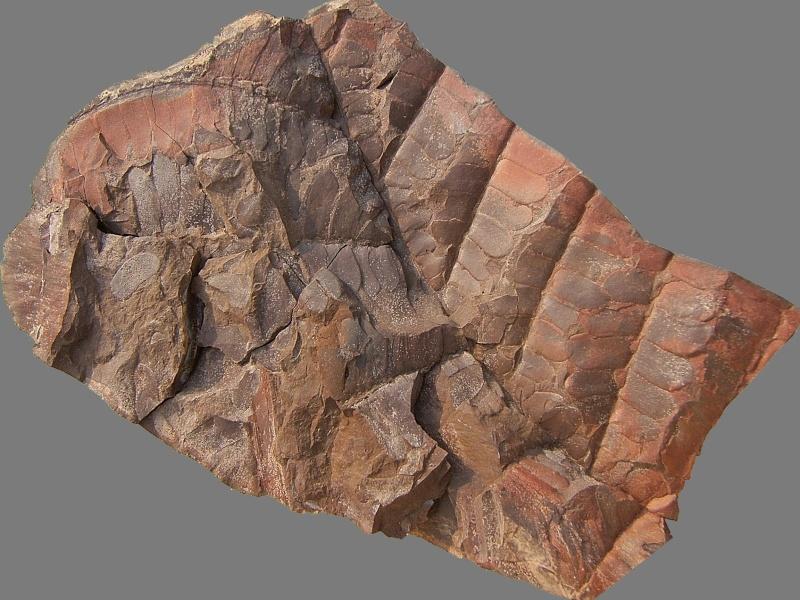 Linopteris Presl , 1838.    Hexagonocarpus Renault ,1890. 049b10