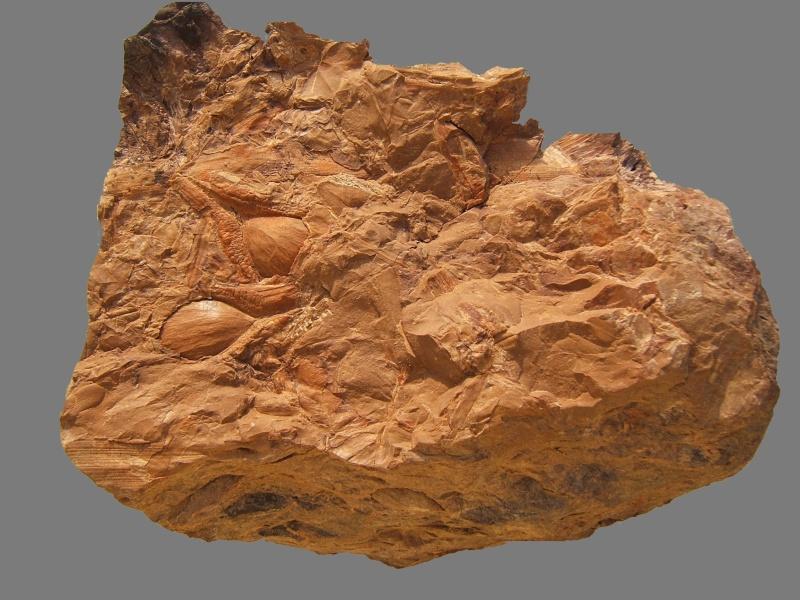 Trigonocarpus  Pachytesta  Hexagonocarpus  059a10