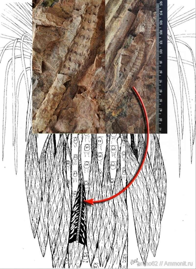 Sigillaria et zone d'insertion des sigillariostrobus 13291710