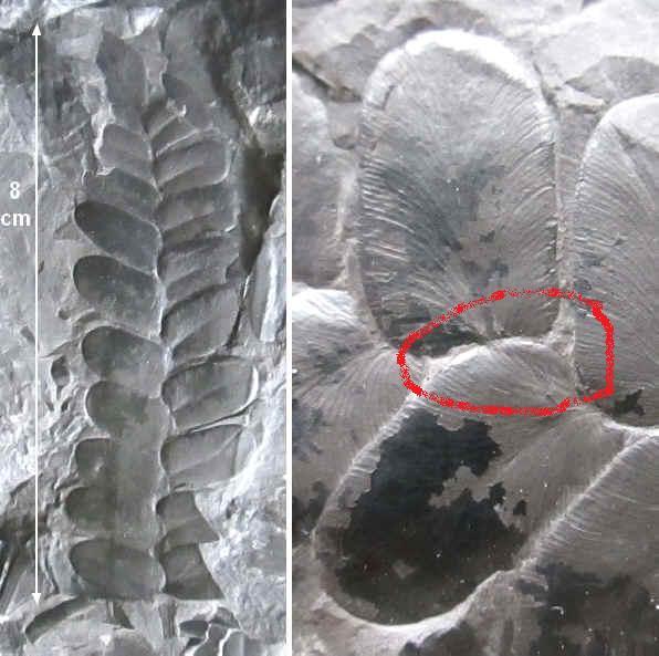 Neuropteris ovata Hoffmann . Cyclopteris Brongniart , 1830.  1391011