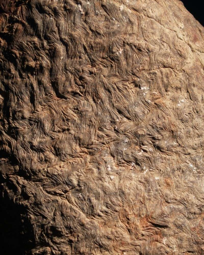 Asolanus Wood, 1860. 314