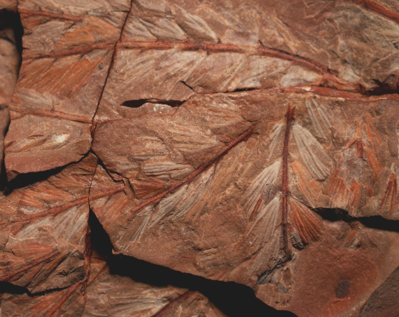 Rhodeites  Urnatopteris   4m10