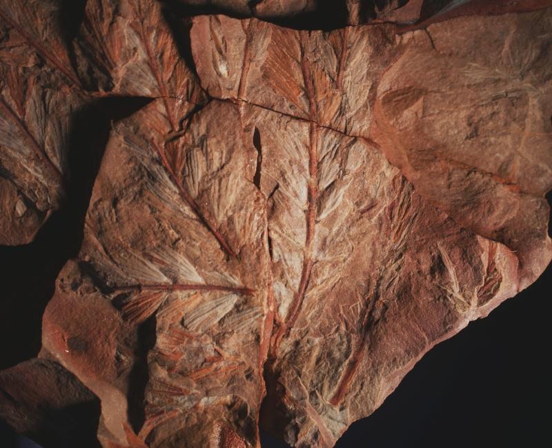 Rhodeites  Urnatopteris   5m10