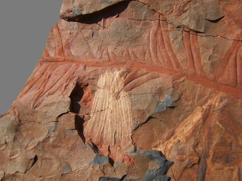 Organes mâles de fougères Ptéridospermées  A210
