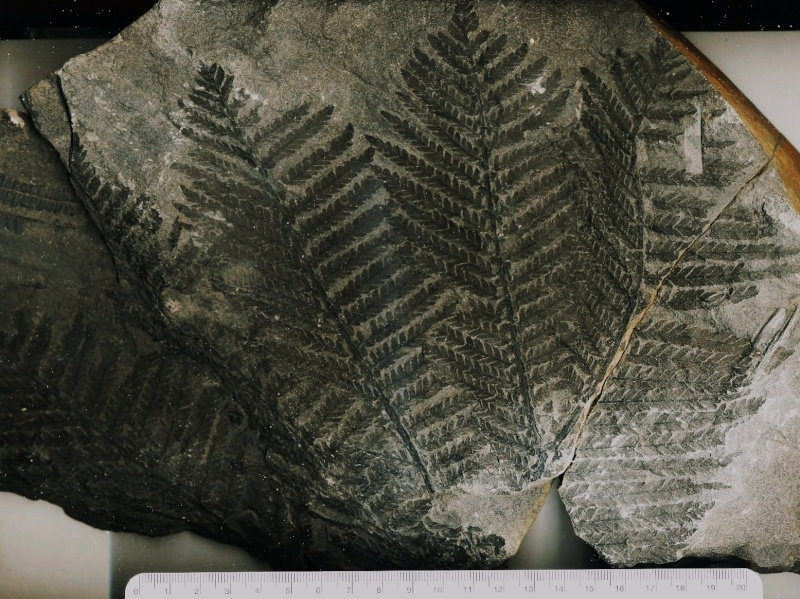 fossiles du bassin de decazeville Auzits10
