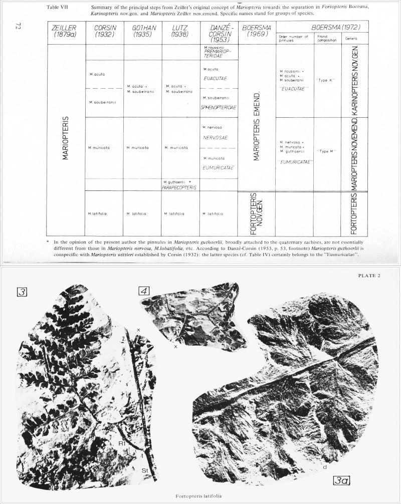 Fortopteris latifolia Zeiller Boersm10