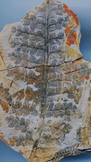 fossiles du bassin de decazeville Dickso10