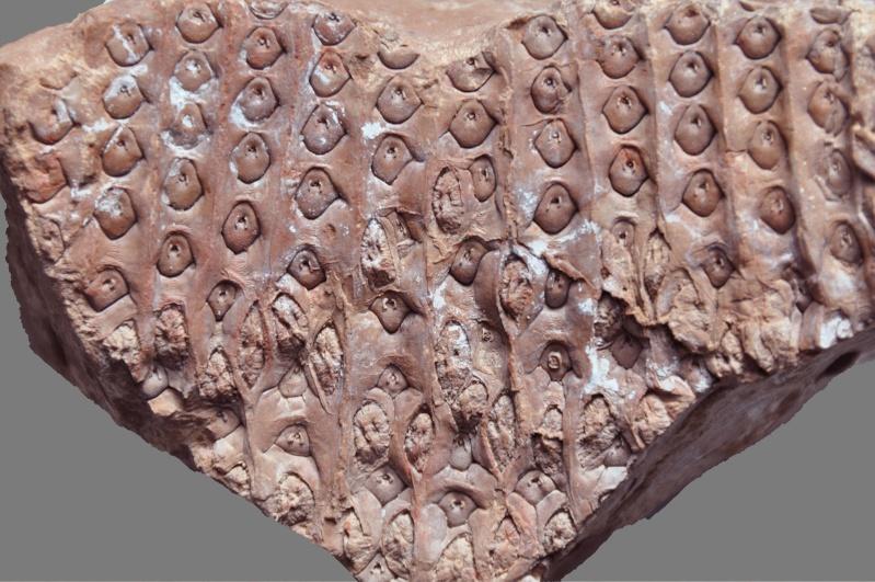 Sigillaria et zone d'insertion des sigillariostrobus - Page 2 Dsc_1711