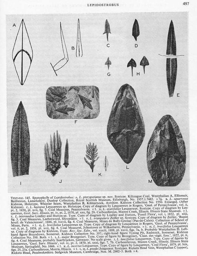 Sigillariostrobus  ou  Lepidostrobus  File1910