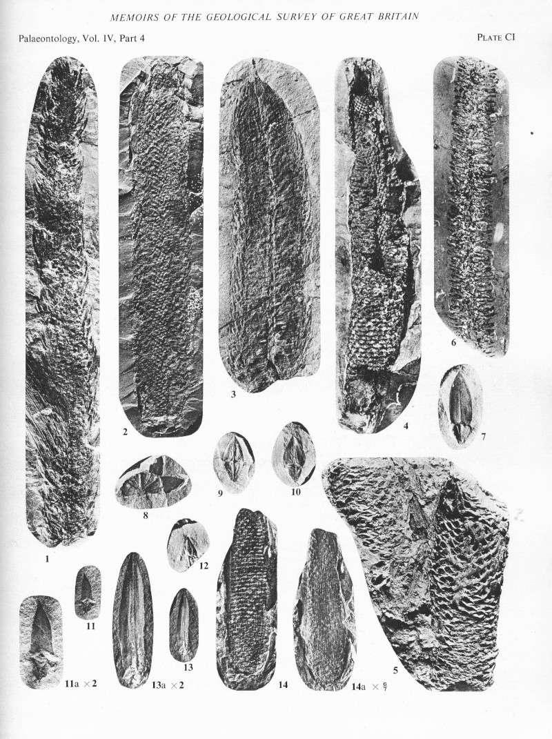 Sigillariostrobus  ou  Lepidostrobus  File2011