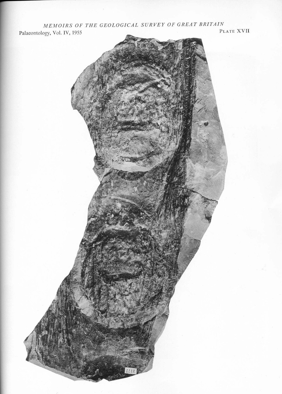 Megaphyton Artis , 1825 . File2713