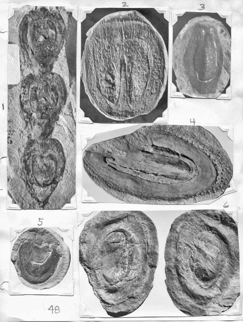 Megaphyton Artis , 1825 . Gl048c10