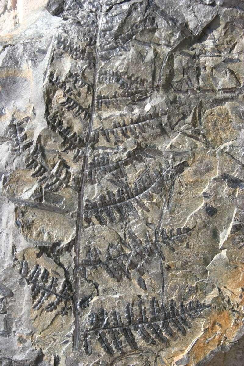 Eusphenopteris rotundiloba, Eusphenopteris talensii Img_6212