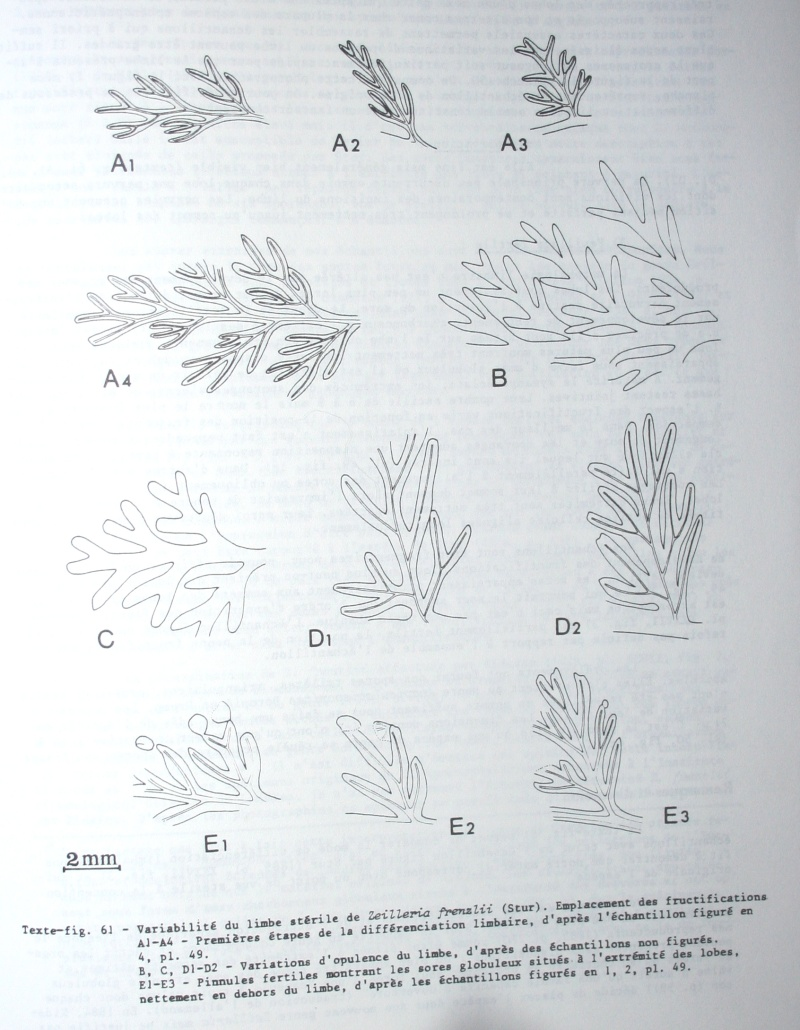 Rhodeites  Urnatopteris   Img_6811