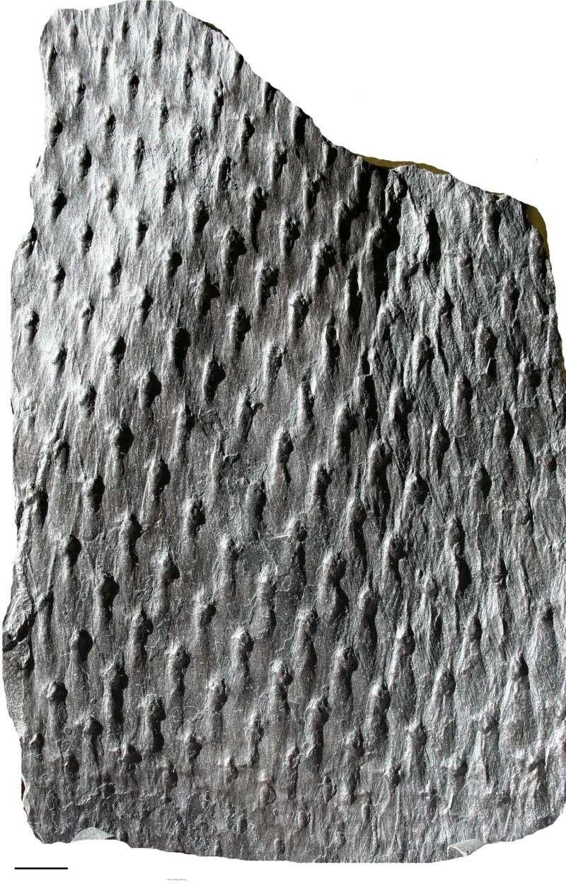 Asolanus Wood, 1860. Img_7413