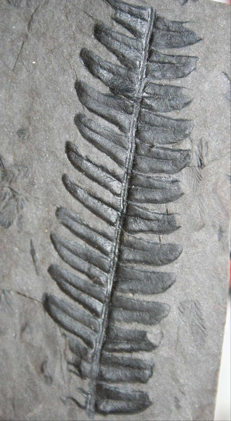 Callipteridium   Weiss , 1870 . La_mag10