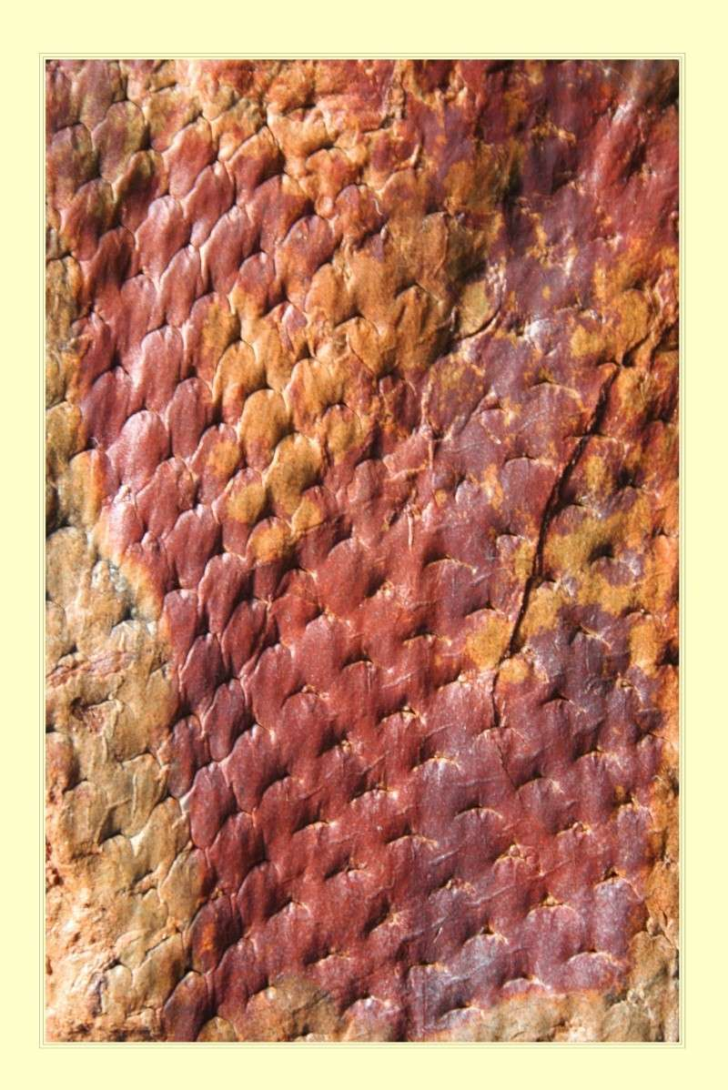 Asolanus Wood, 1860. Lepido18